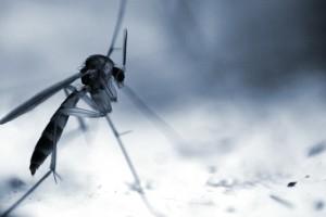 Macro Shot Of Mosquito